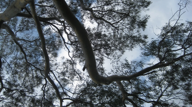 eucalypt tree branches overhead