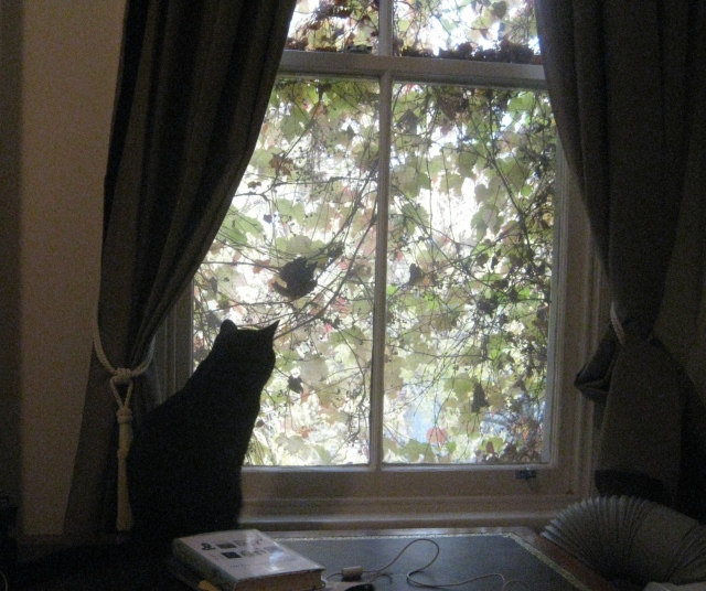 fitzroy autumn black cat on the desk at the window looking out