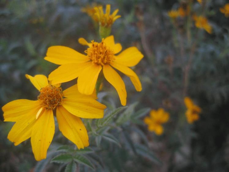 yellow daisies Australia Jon Cornford sustainability