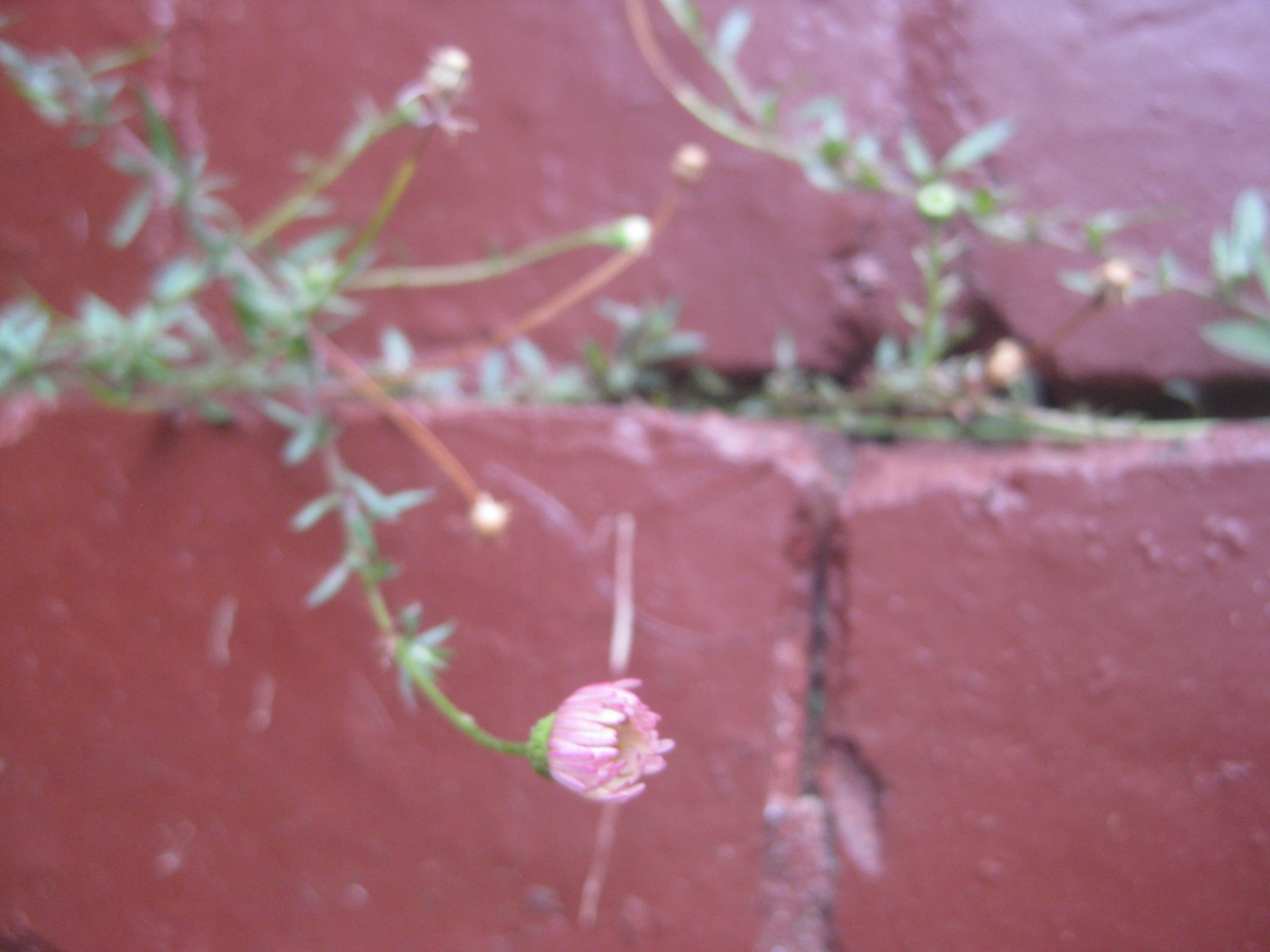 pink tiny daisy growing in a brick wall where flowers shouldn't be