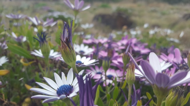 field of purple daisies
