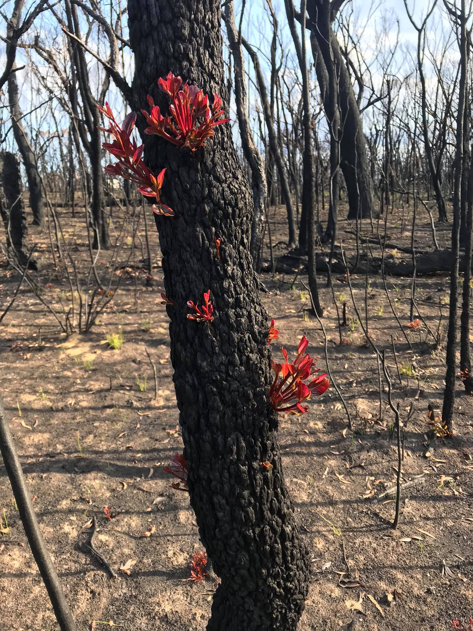 bright red shoots of regrowth starting to peep out of a charred and black tree trunk